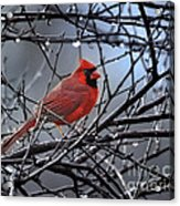 Cardinal In The Rain   Acrylic Print