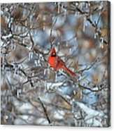 Cardinal In Winter Acrylic Print by Cim Paddock
