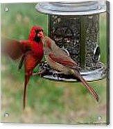 Cardinal Kiss Acrylic Print