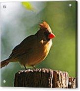 Cardinal Light Acrylic Print