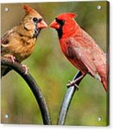 Cardinal Love Acrylic Print