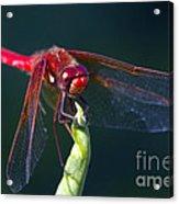 Cardinal Meadowhawk Dragonfly Acrylic Print