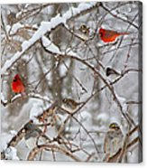 Cardinal Meeting In The Snow Acrylic Print