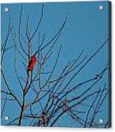 Cardinal Morning Acrylic Print