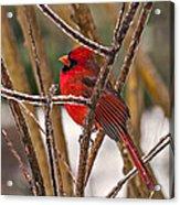Cardinal On A Winter Day Acrylic Print