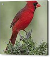 Cardinal On Tree Acrylic Print