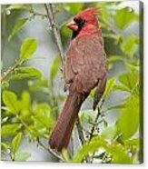 Cardinal Pictures 123 Acrylic Print