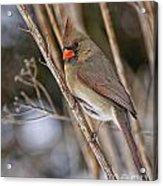 Cardinal Pictures 50 Acrylic Print