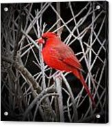 Cardinal Red With Black Acrylic Print