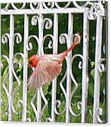 Cardinal Tail Up Landing Acrylic Print