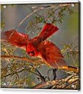 Cardinal Taking Flight Acrylic Print