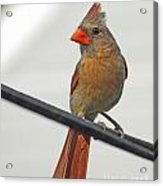 Cardinal Young Female Acrylic Print