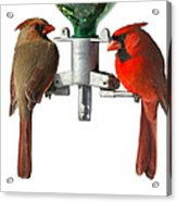 Cardinals On White Acrylic Print by John Kunze