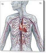 Cardiovascular System Female Acrylic Print