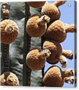 Cardon Cactus Fruit Acrylic Print