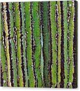 Cardon Cactus Texture. Acrylic Print