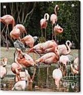 Caribbean Flamingos - Phoenicopterus Ruber Ruber Acrylic Print