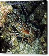 Caribbean Reef Lobster On Night Dive Acrylic Print