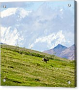 Caribou And Mount Mckinley Acrylic Print