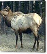 Elk Side Profile - Banff, Alberta Acrylic Print