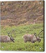 Caribou In The Rain Acrylic Print