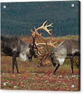 Caribou Males Sparring Acrylic Print by Matthias Breiter