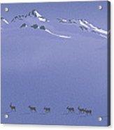 Caribou Trail Acrylic Print