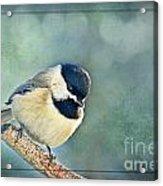 Carlina Chickadee With Soft Blue Bokeh Acrylic Print