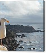 Carlos The Pacific Gull Acrylic Print