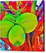 Carmen's Coconuts Acrylic Print