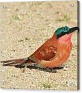 Carmine Colors Acrylic Print