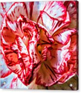 Carnation Watercolor Acrylic Print