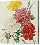 Carnations From Choix Des Plus Belles Fleures Acrylic Print by Pierre Joseph Redoute