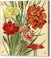Carnations Acrylic Print by Philip Ralley