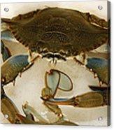 Carolina Blue Crab Acrylic Print