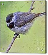 Carolina Chickadee On Angled Perch Acrylic Print
