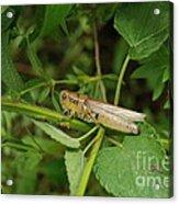 Carolina Locust Acrylic Print