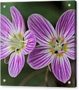 Carolina Spring Beauty Duo Acrylic Print