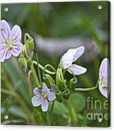 Carolina Spring Beauty - Wide-leaved Spring Beauty - Claytonia Caroliniana Acrylic Print
