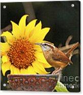 Carolina Wren And Sunflowers Acrylic Print