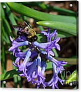 Carpenter On Hyacinth Acrylic Print