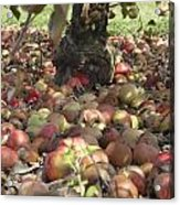 Carpet Of Apples Acrylic Print
