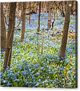 Carpet Of Blue Flowers In Spring Forest Acrylic Print by Elena Elisseeva