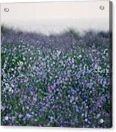 Carpinteria California Wildflowers Acrylic Print
