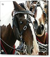Carriage Horse - 2 Acrylic Print