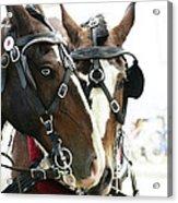 Carriage Horse - 3 Acrylic Print