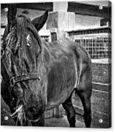Carriage Horse Acrylic Print