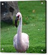 Carribean Pink Flamingo Acrylic Print