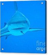Carribean Reef Shark Seeks Dinner Acrylic Print