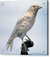 Carrion Crow, Mounted Albino Specimen Acrylic Print